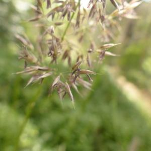 - Calamagrostis Adans. [1763]