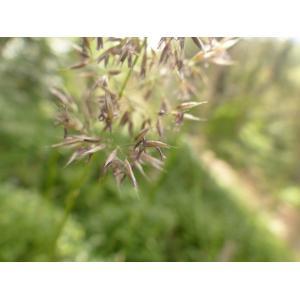 Calamagrostis sp.