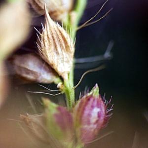 Photographie n°2442561 du taxon Echinochloa crus-galli (L.) P.Beauv. [1812]