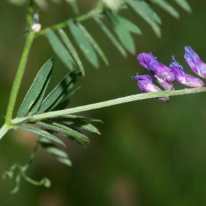 Photographie n°2442645 du taxon Vicia cracca L. [1753]