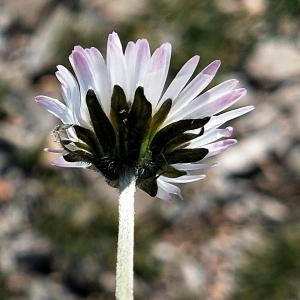 Photographie n°2442944 du taxon Bellis sylvestris Cirillo [1792]