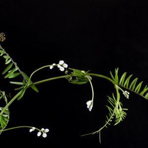 Photographie n°2443105 du taxon Ervilia hirsuta (L.) Opiz [1852]