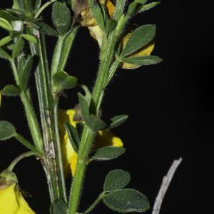 Photographie n°2443195 du taxon Cytisus scoparius (L.) Link [1822]