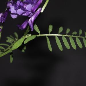Photographie n°2443199 du taxon Vicia cracca L. [1753]