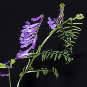 Photographie n°2443201 du taxon Vicia cracca L. [1753]
