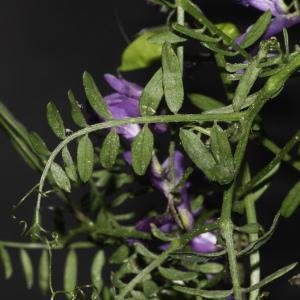 Photographie n°2443206 du taxon Vicia cracca L. [1753]