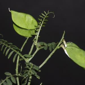 Photographie n°2443207 du taxon Vicia cracca L. [1753]