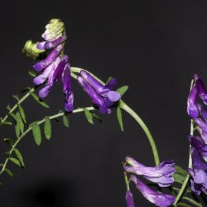 Photographie n°2443208 du taxon Vicia cracca L. [1753]