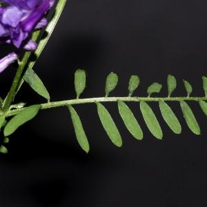 Photographie n°2443209 du taxon Vicia cracca L. [1753]