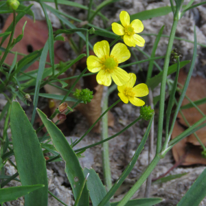 Photographie n°2443226 du taxon Ranunculus flammula L. [1753]