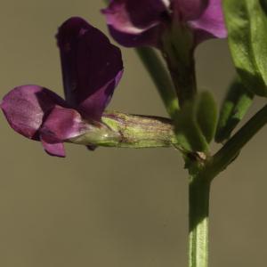 Photographie n°2443419 du taxon Vicia angustifolia L. [1759]