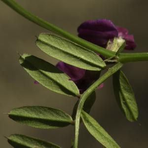 Photographie n°2443420 du taxon Vicia angustifolia L. [1759]