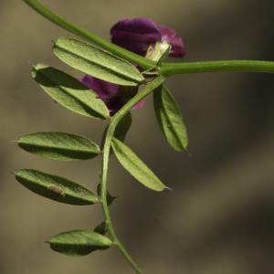 Photographie n°2443421 du taxon Vicia angustifolia L. [1759]
