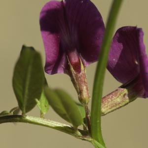 Photographie n°2443422 du taxon Vicia angustifolia L. [1759]