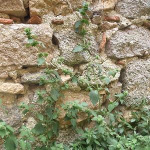 Photographie n°2443613 du taxon Ballota nigra subsp. foetida (Vis.) Hayek [1929]