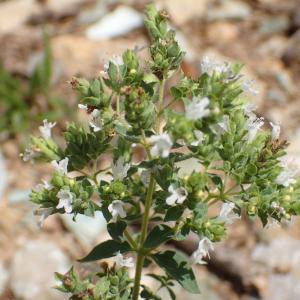 Photographie n°2444826 du taxon Origanum vulgare subsp. viridulum (Martrin-Donos) Nyman