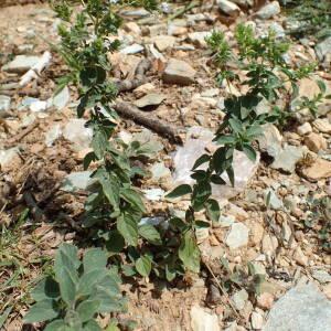 Photographie n°2444828 du taxon Origanum vulgare subsp. viridulum (Martrin-Donos) Nyman