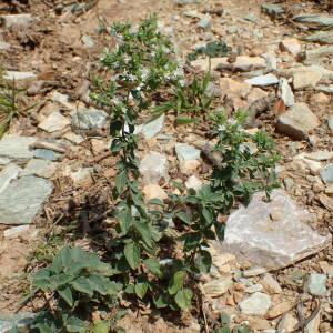 Photographie n°2444829 du taxon Origanum vulgare subsp. viridulum (Martrin-Donos) Nyman