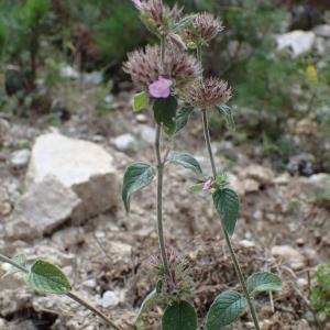 Photographie n°2445044 du taxon Clinopodium vulgare L.