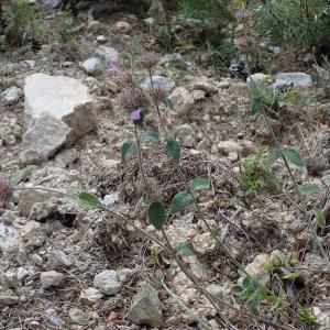 Photographie n°2445046 du taxon Clinopodium vulgare L.
