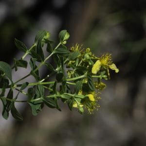 Photographie n°2445648 du taxon Hypericum humifusum L. [1753]