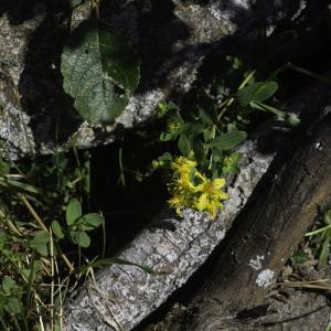 Photographie n°2445649 du taxon Hypericum humifusum L. [1753]