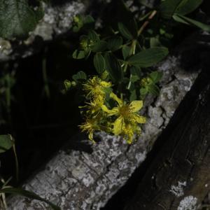 Photographie n°2445652 du taxon Hypericum humifusum L. [1753]