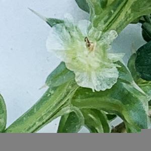 Photographie n°2446316 du taxon Salsola kali L. [1753]