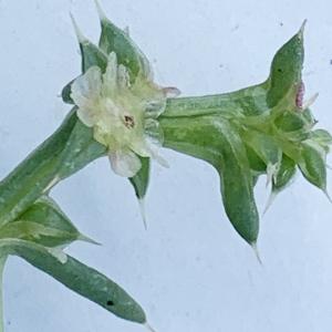 Photographie n°2446322 du taxon Salsola kali L. [1753]