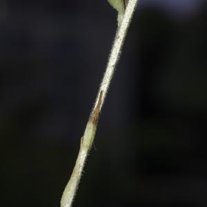 Photographie n°2446634 du taxon Goodyera repens (L.) R.Br. [1813]