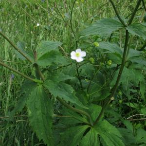 Photographie n°2447200 du taxon Ranunculus aconitifolius L. [1753]
