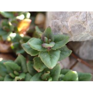 Clinopodium alpinum subsp. meridionale (Nyman) Govaerts (Calament du Midi)