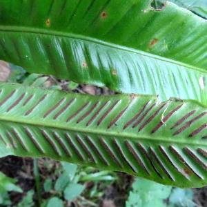 Photographie n°2447319 du taxon Asplenium scolopendrium L.
