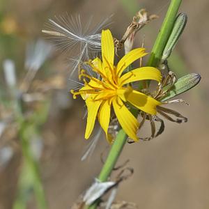 Photographie n°2447405 du taxon Chondrilla juncea L. [1753]