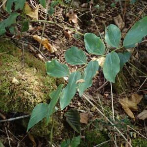 Photographie n°2447421 du taxon Polygonatum multiflorum (L.) All.