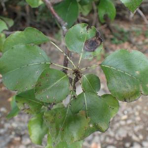 Photographie n°2447467 du taxon Pyrus communis subsp. pyraster (L.) Ehrh.