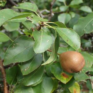 Photographie n°2447468 du taxon Pyrus communis subsp. pyraster (L.) Ehrh.