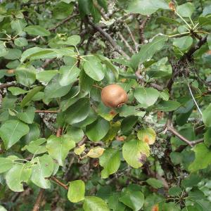Photographie n°2447473 du taxon Pyrus communis subsp. pyraster (L.) Ehrh.
