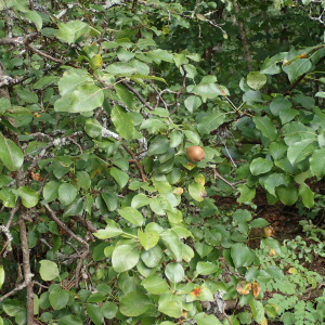 Photographie n°2447475 du taxon Pyrus communis subsp. pyraster (L.) Ehrh.