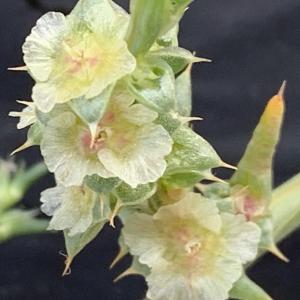 Photographie n°2447568 du taxon Salsola kali L. [1753]