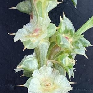 Photographie n°2447574 du taxon Salsola kali L. [1753]