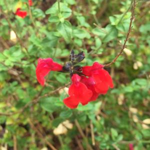 - Salvia microphylla Kunth [1818]