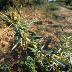 Photographie n°2448220 du taxon Xanthium spinosum L.
