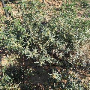 Photographie n°2448223 du taxon Xanthium spinosum L.