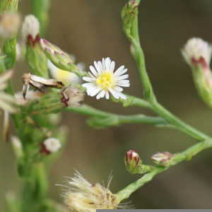 Symphyotrichum subulatum (Michx.) G.L.Nesom (Annual Saltmarsh-aster)
