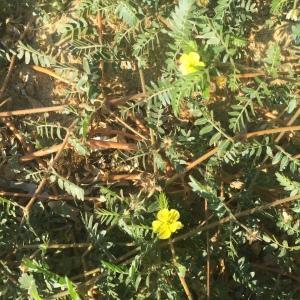 Photographie n°2448691 du taxon Tribulus terrestris L. [1753]