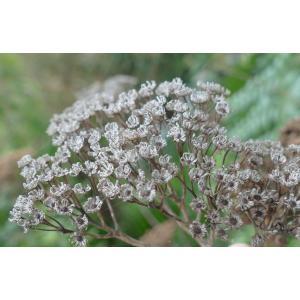Tanacetum macrophyllum (Waldst. & Kit.) Sch.Bip. (Rayed Tansy)