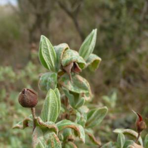 Photographie n°2449435 du taxon Cistus albidus L. [1753]
