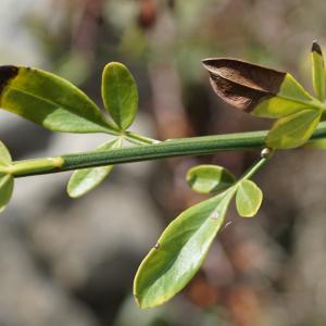 Photographie n°2449964 du taxon Jasminum fruticans L. [1753]