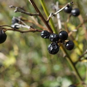 Photographie n°2449965 du taxon Jasminum fruticans L. [1753]